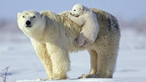 a-polar_bears-968059