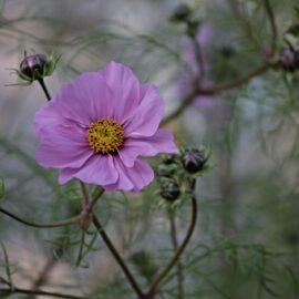 Ready to Blossom – Omega 13