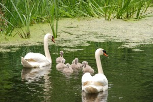 swan-1463678_1920