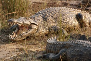 crocodile-3828792_1920